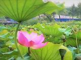 一片蝉鸣宣夏日, 半池荷花阵阵香。